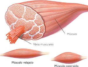Fibras del músculo